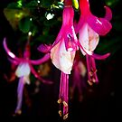 Fuchsia by debbiedoda