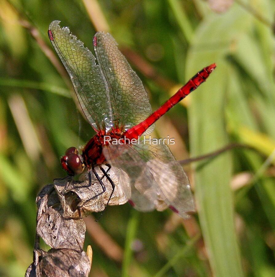 Dragonfly by Rachel Slater