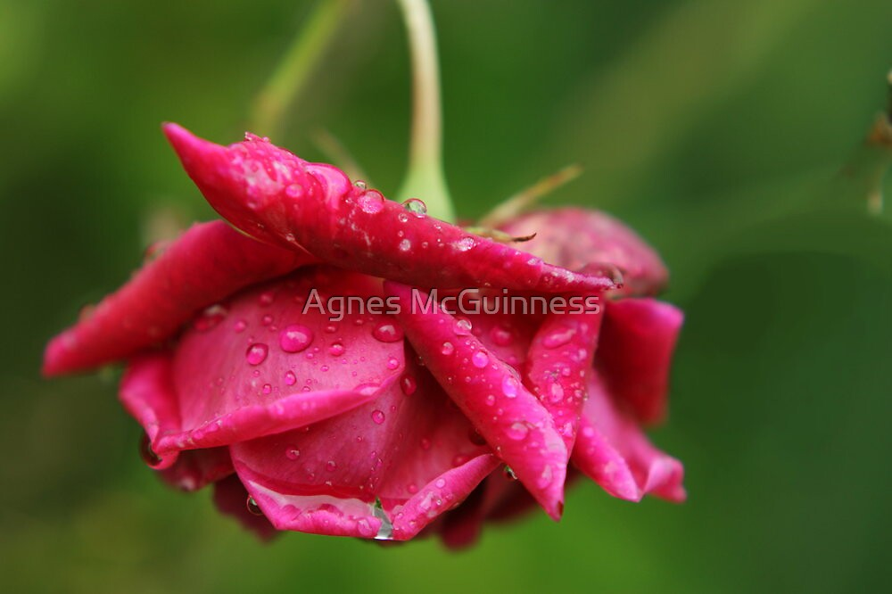 Rose and raindrops by Agnes McGuinness