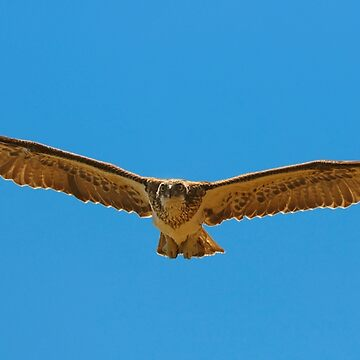 Osprey, homing in.. by pdore