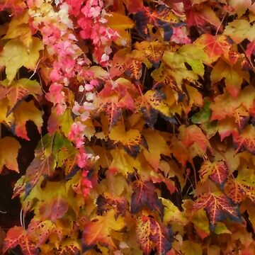 Red and Yellow Ivy by OliviaHathaway