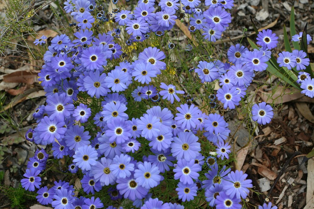 blue wildflowers, King's Park, Perth, Western Australia by margc