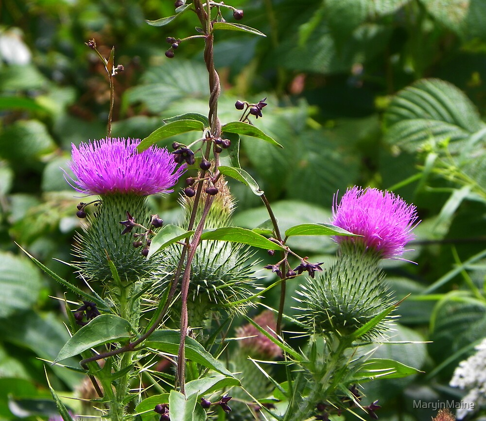 Thistle  by MaryinMaine