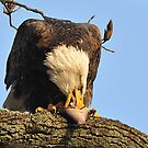 """Eagle: """"I LOVE Fish!"""" by angelcher"""