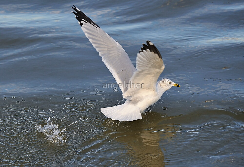 Gull on the river by angelcher
