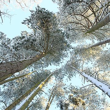 Snowy Pine Tree Tops by AlysonFennell