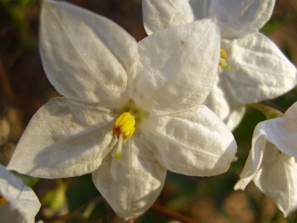 Solanum Star by shutterfly88