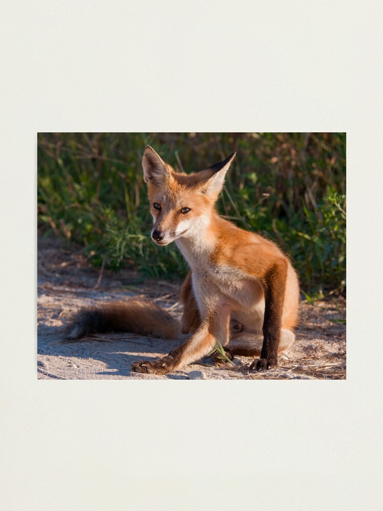 Alternate view of Red Fox In Summer Photographic Print