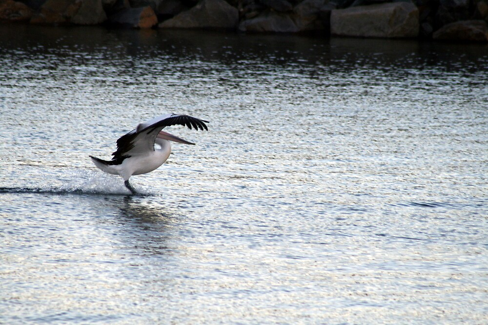 Gliding on the surface, Victor Harbour SA Australia by Robyn Jolly