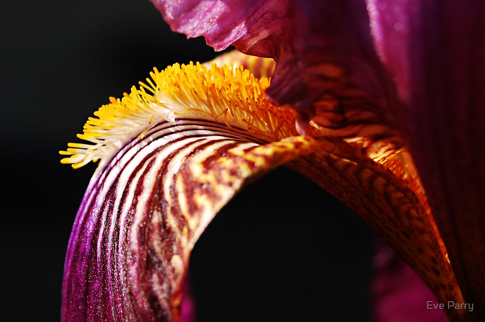 Bearded Iris by Eve Parry