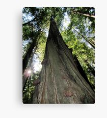 A Giant Beauty, Redwoods, California Canvas Print