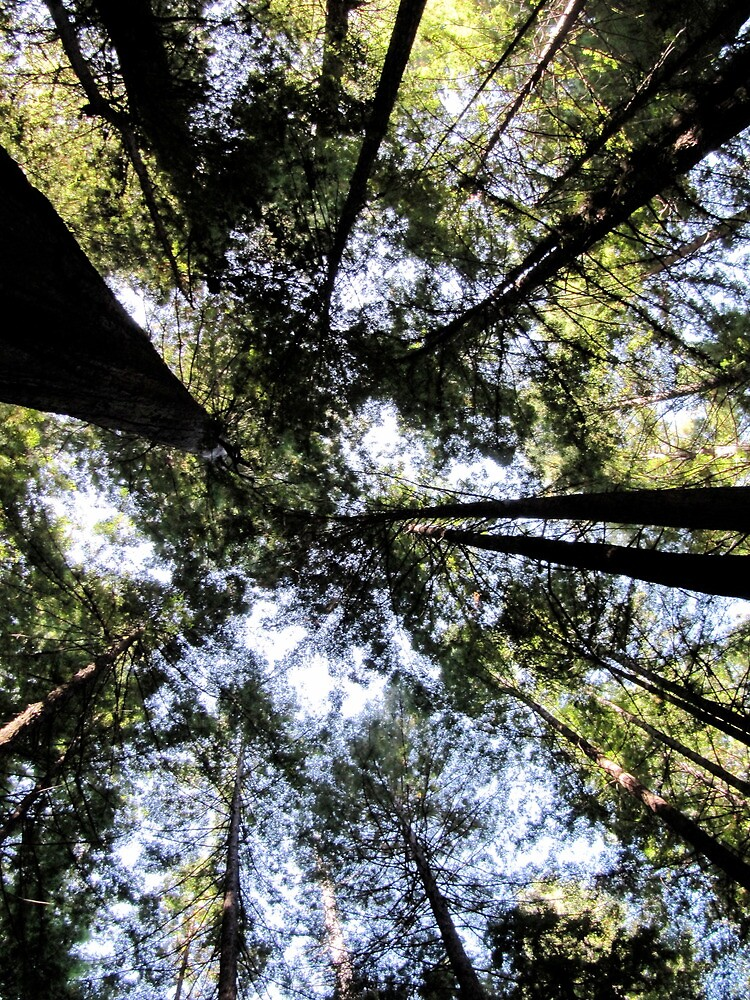 Gazing upwards in the Avenue of the Giants by meredith175