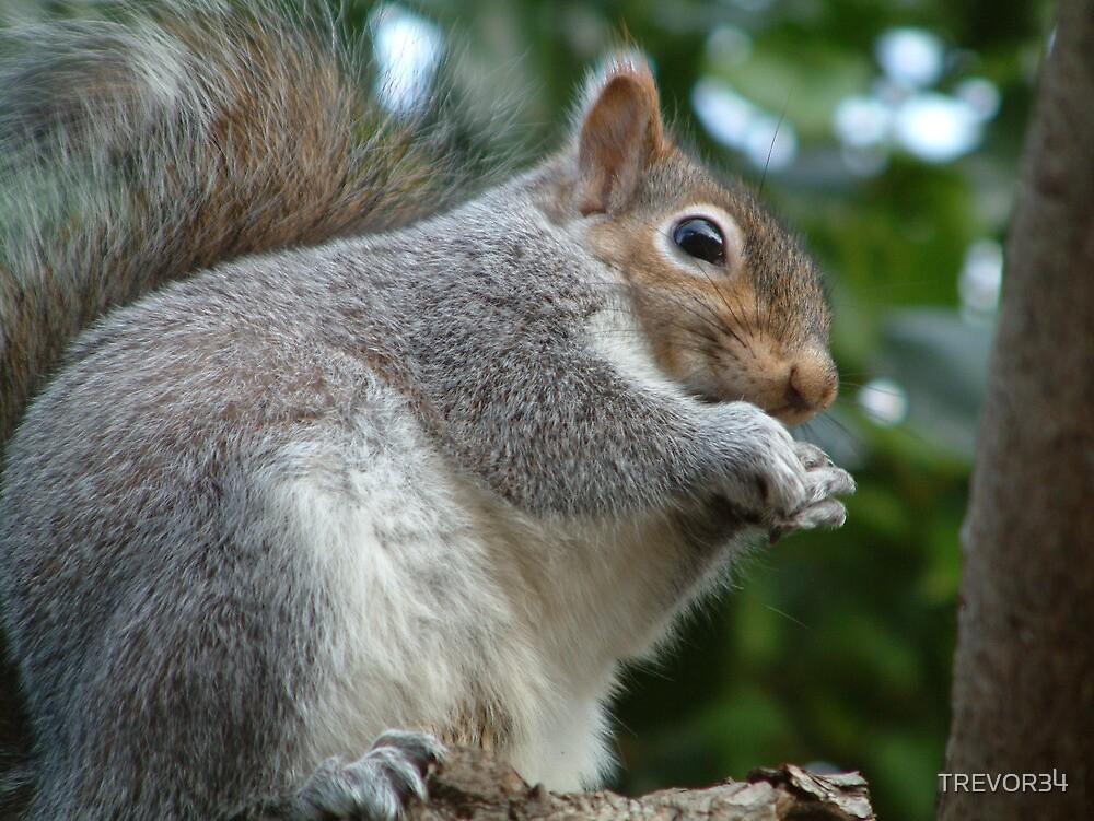Grey Squirrel by TREVOR34
