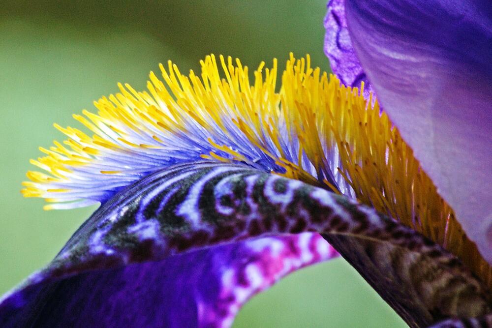 Iris by Hetty Mellink