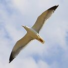Sailing seagull by Christine Oakley