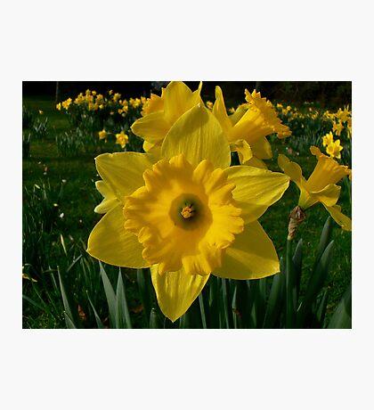 Golden Daffodils. Photographic Print