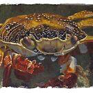 Up Close, Sally Lightfoot Crab by Susan Fox
