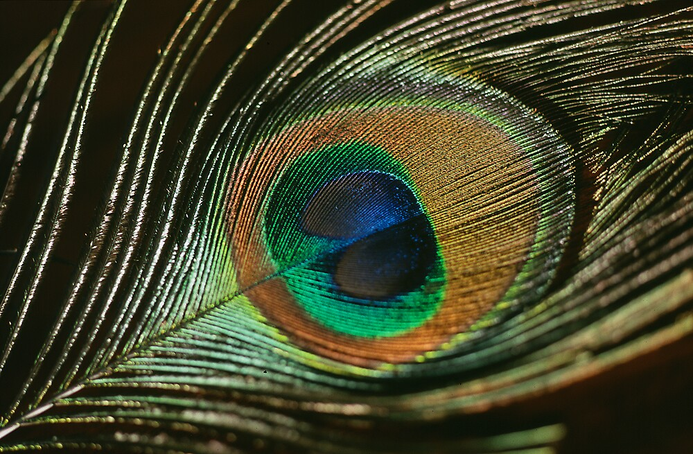 Peacock Feather by Chesil