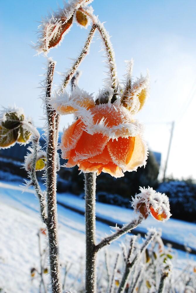 Frozen Rose by Michelle Walsh