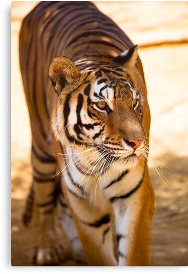 Bengal Tiger by Marc Garrido Clotet
