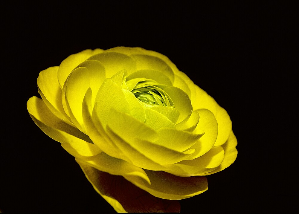 Yellow Ranunculus by Chesil