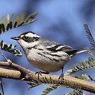 Black-throated Grey Warbler by tomryan