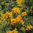 Pinjarra Nuytsia floribunda by lezvee