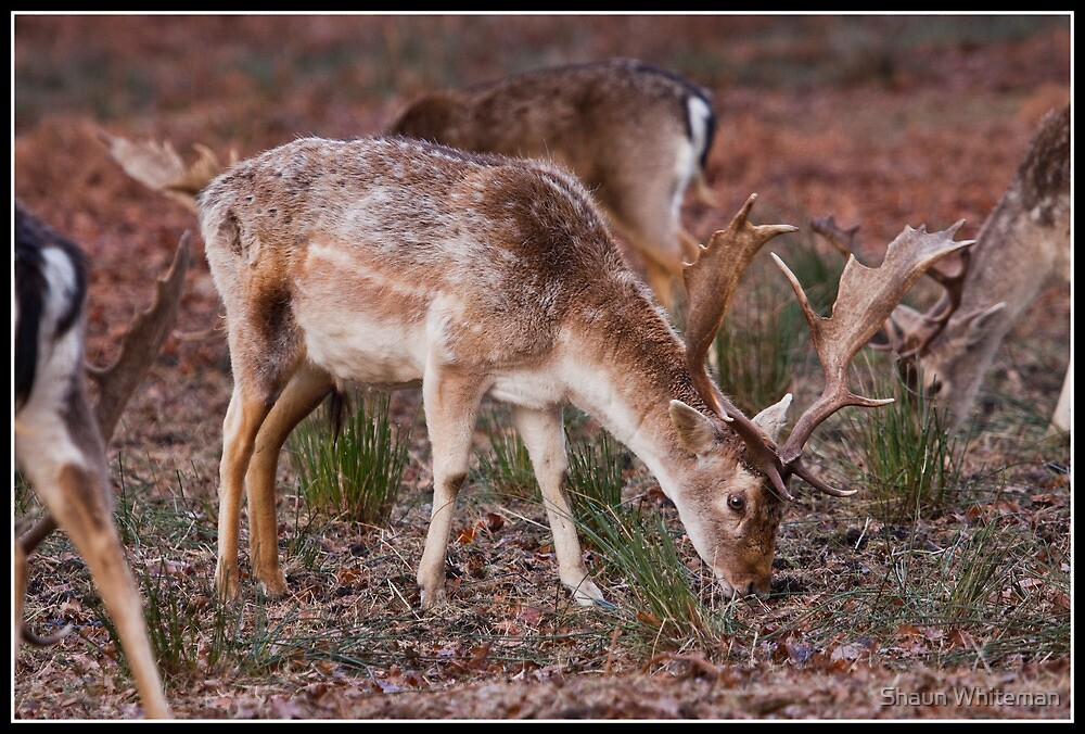 Fallow deer at Dunham Massey by Shaun Whiteman