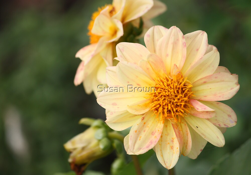 Spotted Dahlia by Susan Brown
