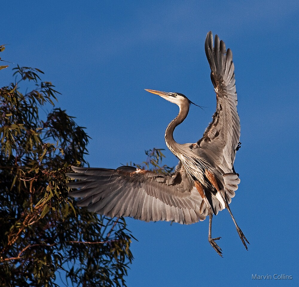 0101101 Great Blue Heron by Marvin Collins