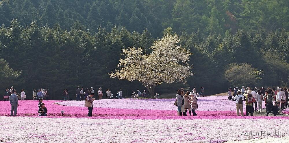 Shibazakura; Motosoko, Japan by Adrian Riordan