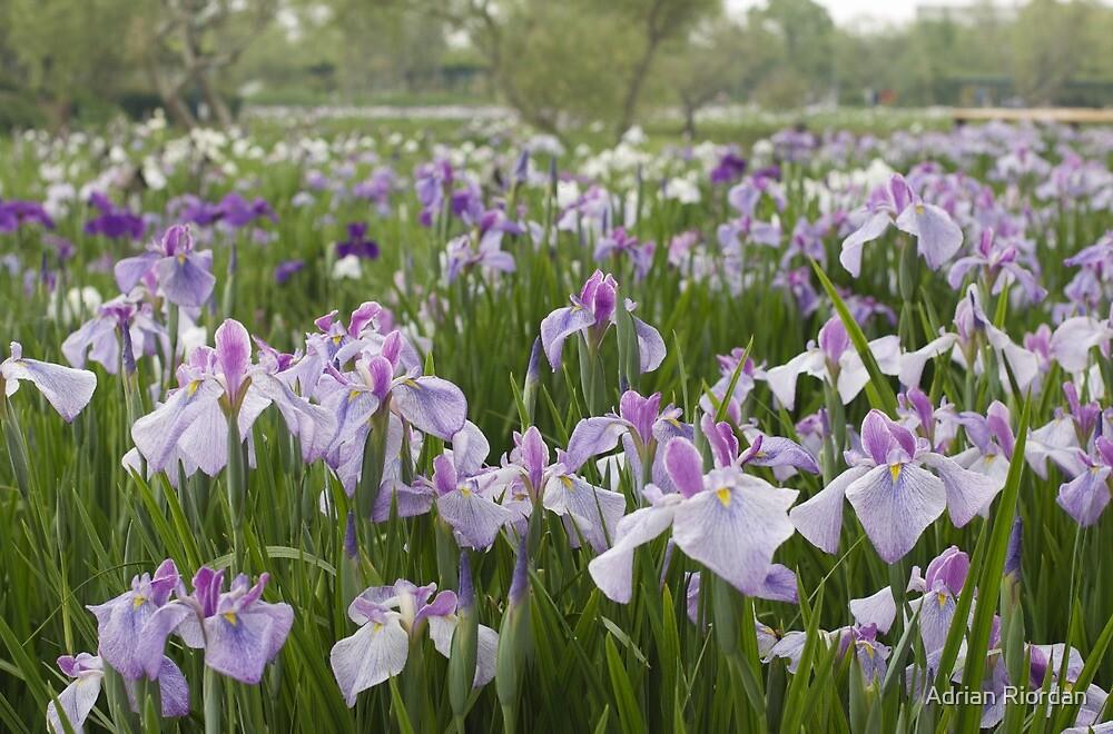 Irises; Sawara, Japan by Adrian Riordan
