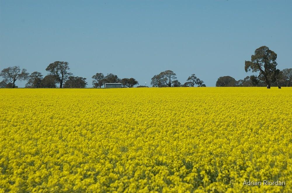 Canola Field; Dunkeld, Australia by Adrian Riordan