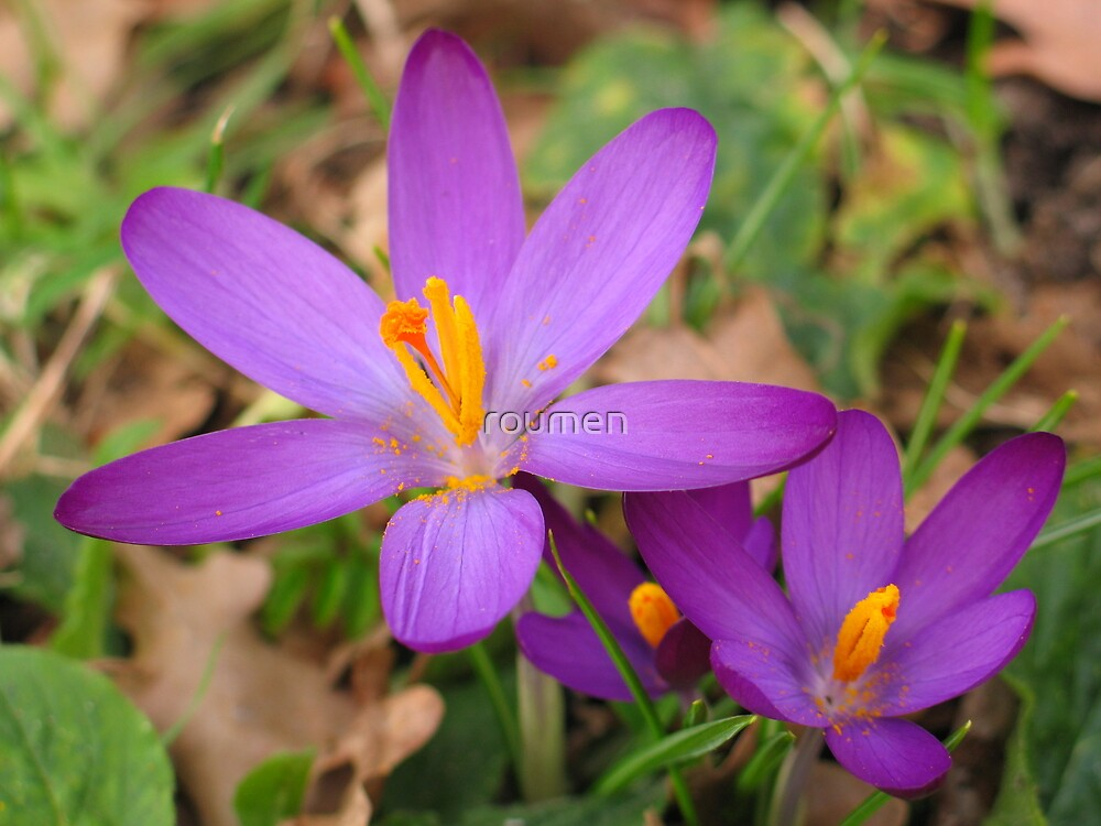 Crocuses by roumen