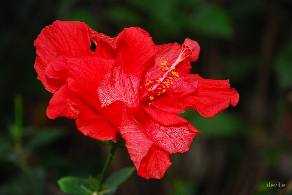 Hibiscus by deville