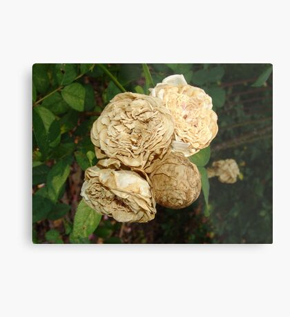White Withered Roses Metal Print