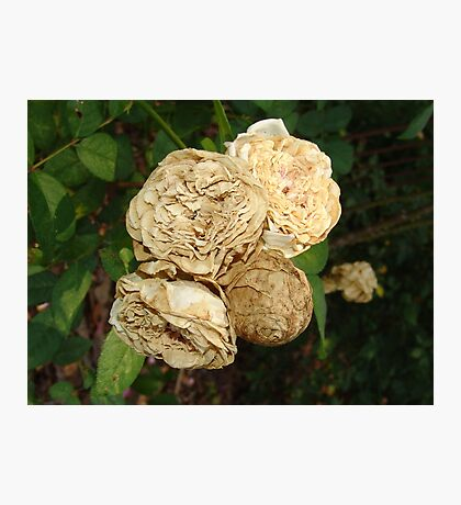 White Withered Roses Photographic Print
