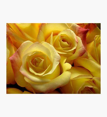 Blushing yellow roses Photographic Print