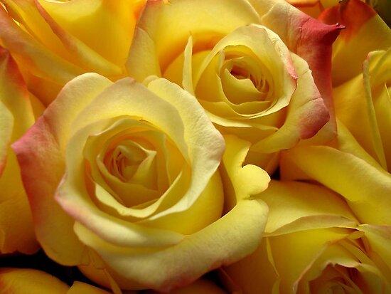 Blushing yellow roses by May Lattanzio