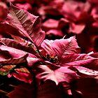 « La Vie en Rose _ Poinsettia » par Poete100