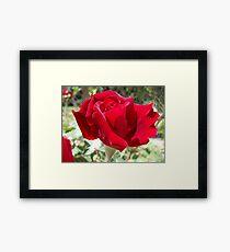Red rose of summer Framed Print