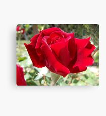 Red rose of summer Canvas Print