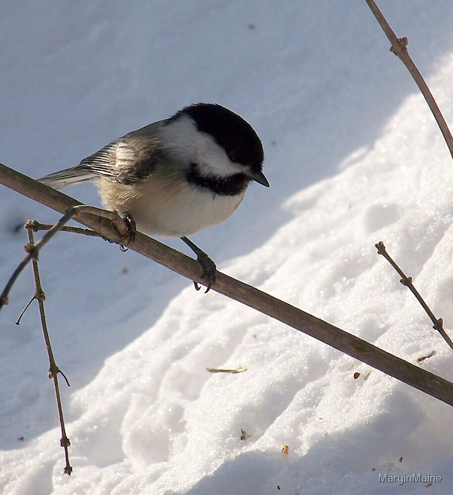 Black Capped Chickadee by MaryinMaine