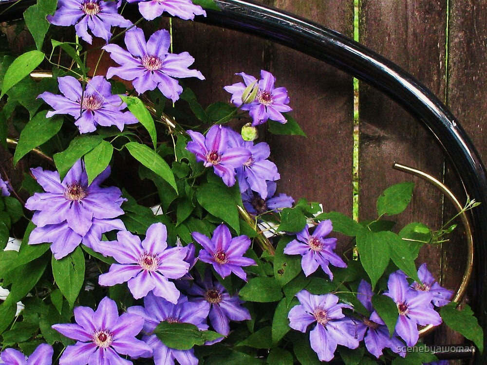 Purple Clematis by scenebyawoman