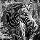 Zebra by Lisa  Kruchak