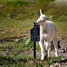 Please Don't Eat the Sign - Glacier National Park, Montana by Kathy Weaver