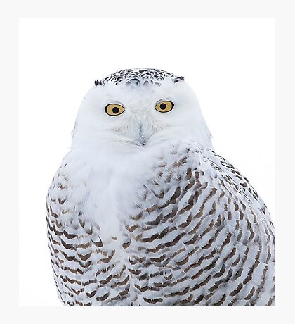 Snowy owl in winter Photographic Print