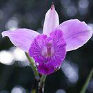 Purple Slipper by Jodie Elchah