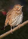 Song Thrush by Krys Bailey