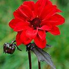 Dahlia Bishop of Llandaff Crimson Red Flower by John Kelly Photography (UK)